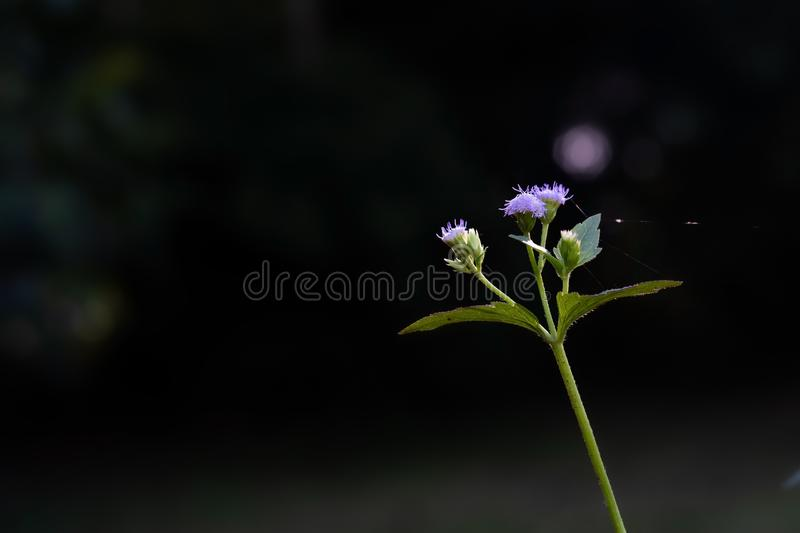 Cluster of light purple flowers or grass flower close up with nature blur background. royalty free stock photography