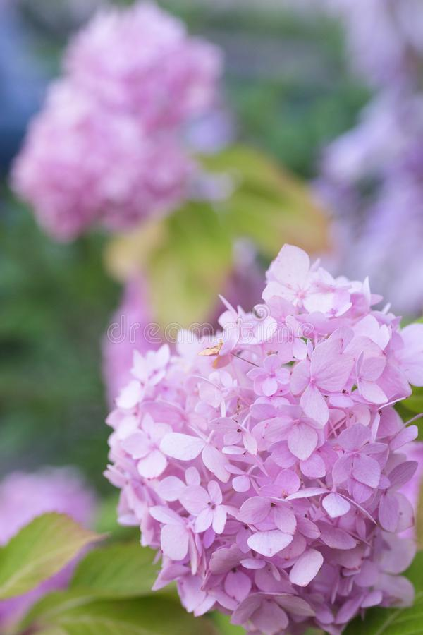 A cluster of little pink flowers on a shrub stock photos