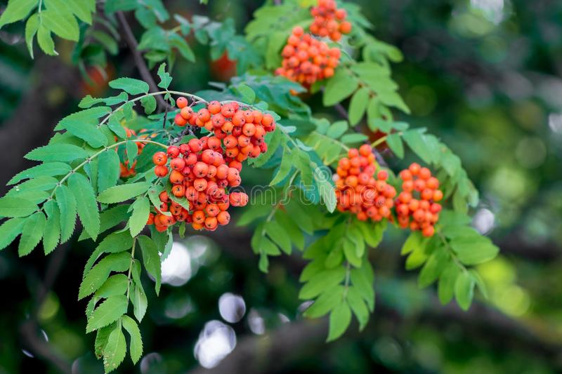 Cluster of mountain ash are hanging on a tree among the green leaves_ royalty free stock photo