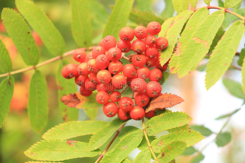 Cluster of mountain ash. Red bunches of mountain ash royalty free stock photos