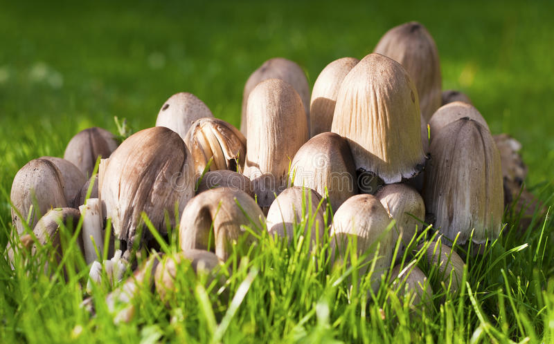 Cluster of Mushrooms on Grass Lawn royalty free stock photos