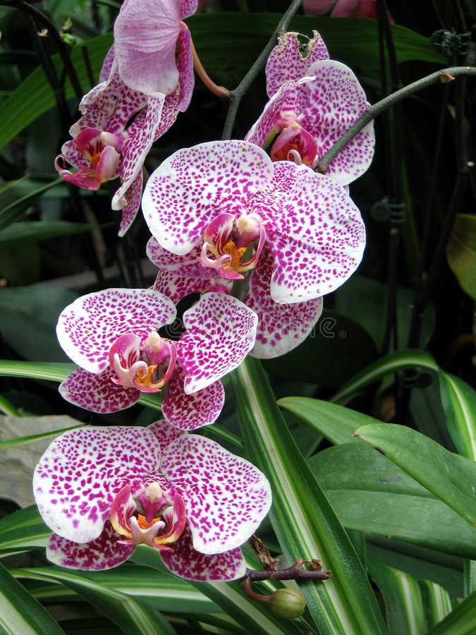A cluster of pink orchids royalty free stock image