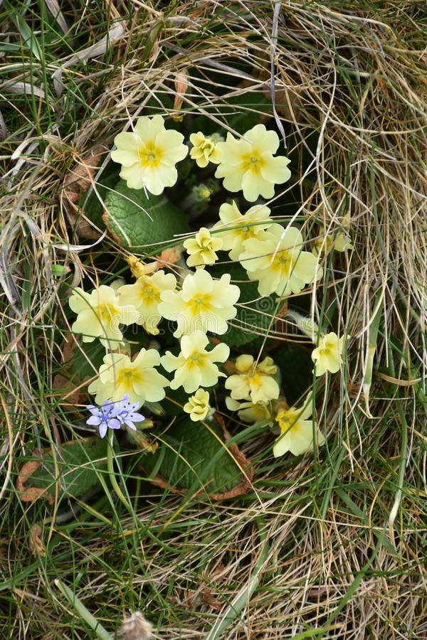 Primroses on the Welsh coastline royalty free stock images