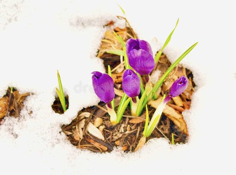 Cluster or purple crocus flowers and green leaves emerging in snow royalty free stock photography