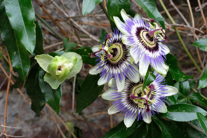 Cluster of passion flowers growing on an old brick wall in Bruges, Belgium stock image