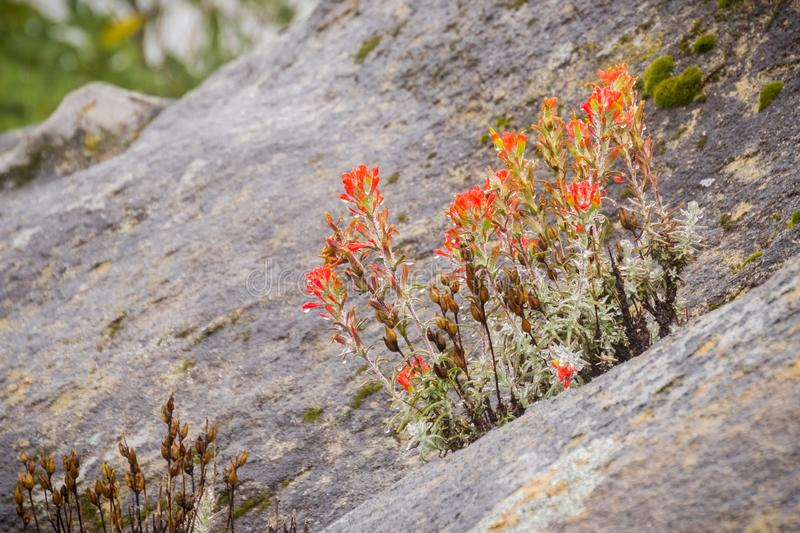 Cluster of Red Indian paintbrush (Castilleja) wildflowers growing among rocks, covered in water droplets on a rainy day, Castle royalty free stock photography