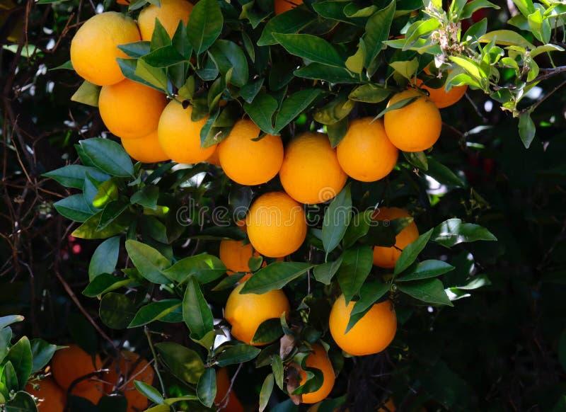 Orange Tree with Oranges Growing royalty free stock images