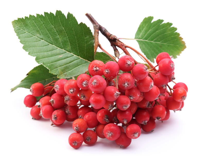 Cluster of rowan berries. stock photo