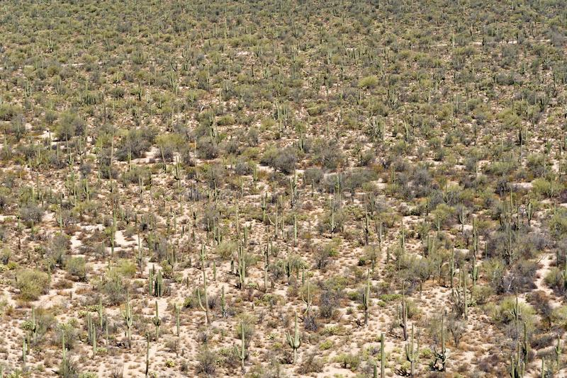 A cluster of saguaro cactus in Arizona royalty free stock photography