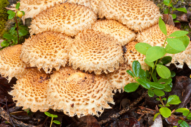 Cluster Of Shaggycap Or Scaly Pholiota Mushrooms Royalty Free Stock Photos