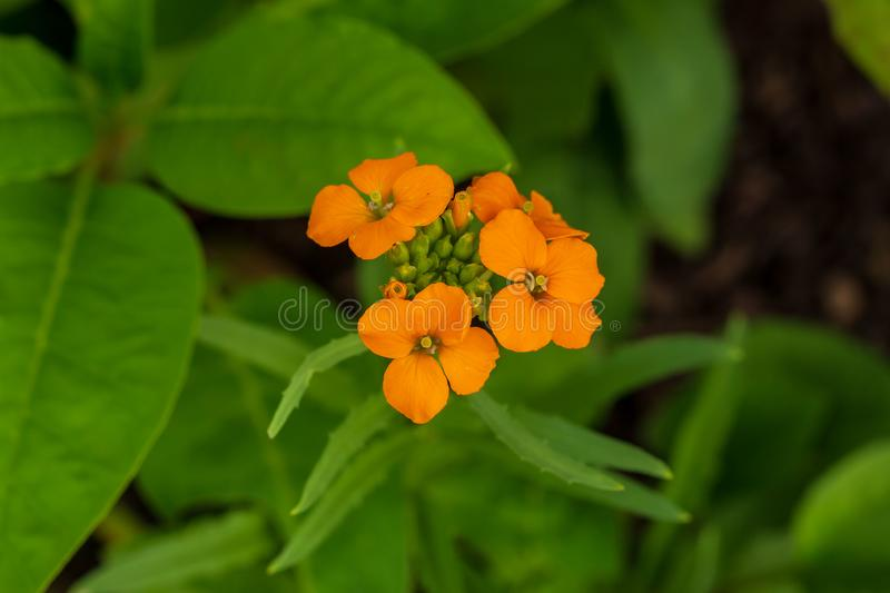 Cluster of small orange blooms on this wildflower royalty free stock images