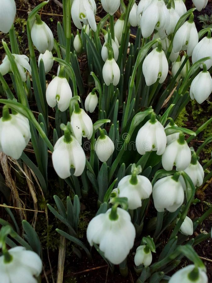 Cluster of Snowdrops royalty free stock images
