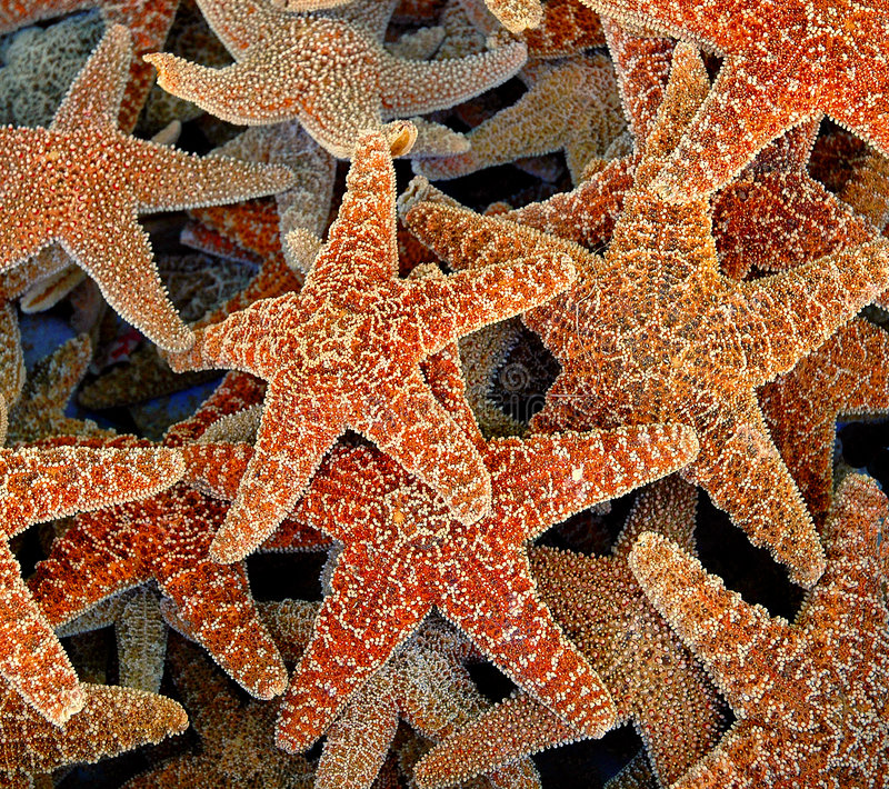 cluster of starfish royalty free stock images