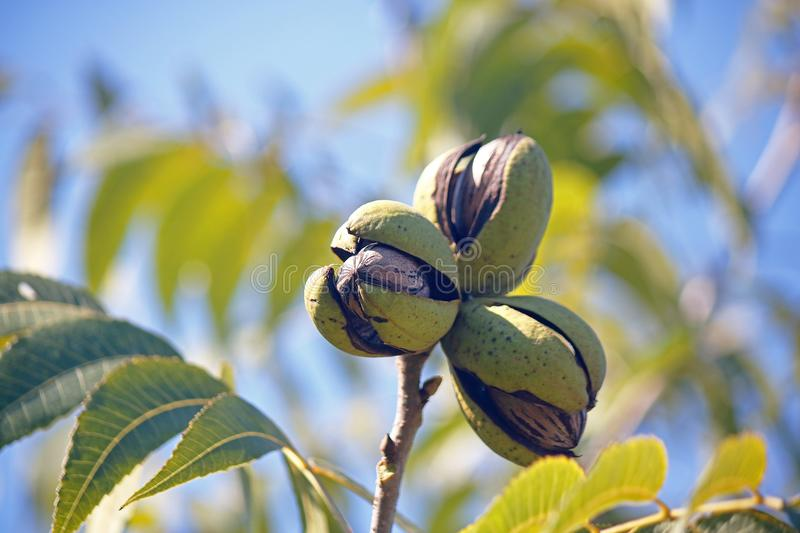 A CLUSTER OF THREE RIPE PECAN NUTS IN GREEN HUSKS ON A TREE. View of pecan nut tree with green foliage and bearing nuts at the end of summer in a garden royalty free stock photos