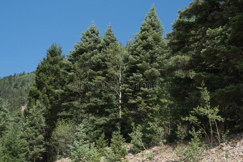 Cluster of trees at Taos Ski Valley, New Mexico. royalty free stock photos