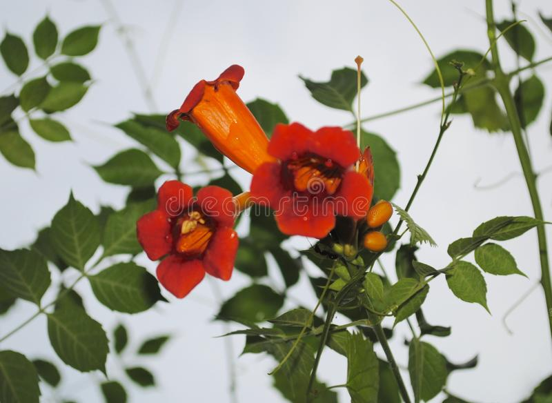 Cluster of Trumpet Vine Blooms with color stock photography