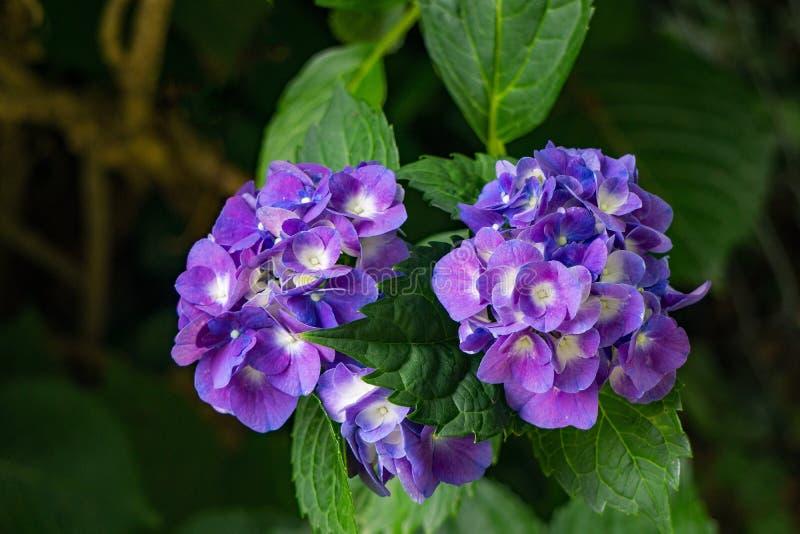 Cluster van Blauwe Wildflowers stock afbeeldingen
