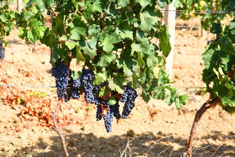 Cluster van donkerblauwe druiven op staaf. stock foto