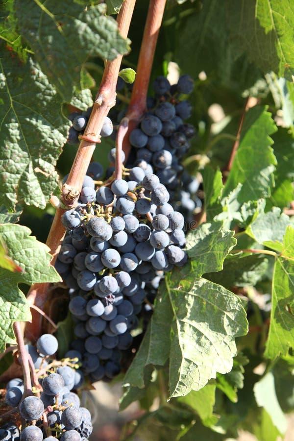 Cluster van donkerblauwe druiven op staaf. royalty-vrije stock foto