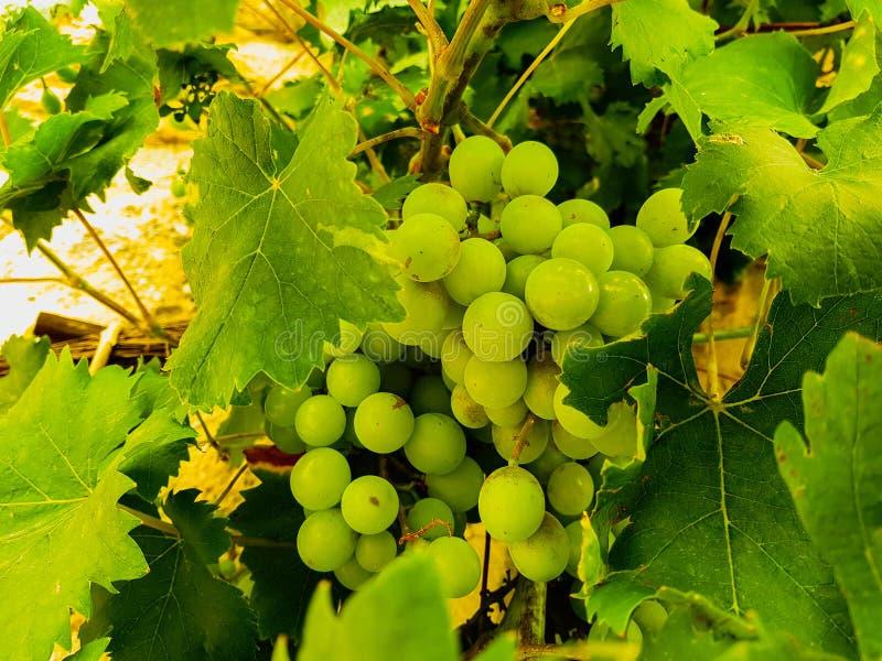 Cluster van groene druiven op de wijnstok stock afbeelding