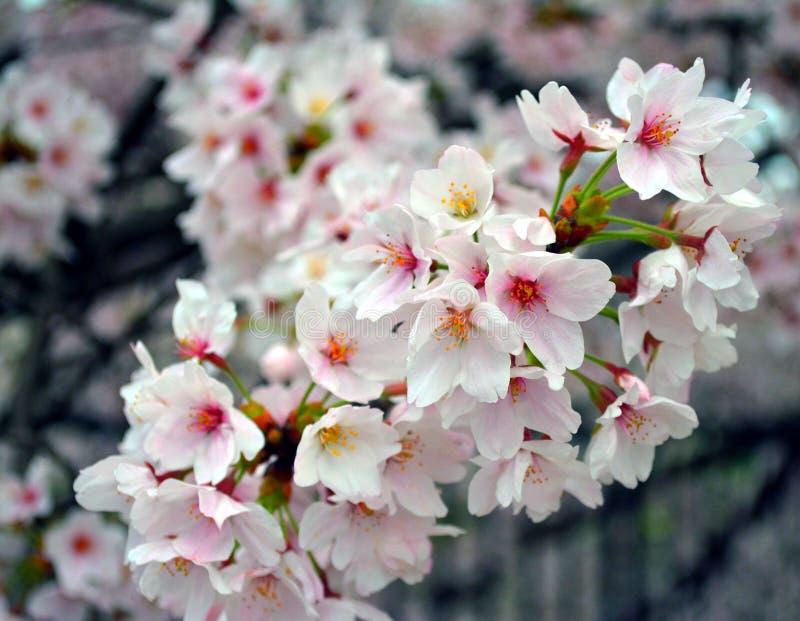 Cluster van mooi Sakura Flowers/Cherry Blossom royalty-vrije stock afbeeldingen