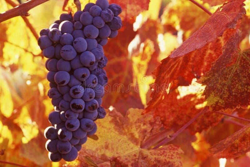 cluster van purpere druiven stock fotografie