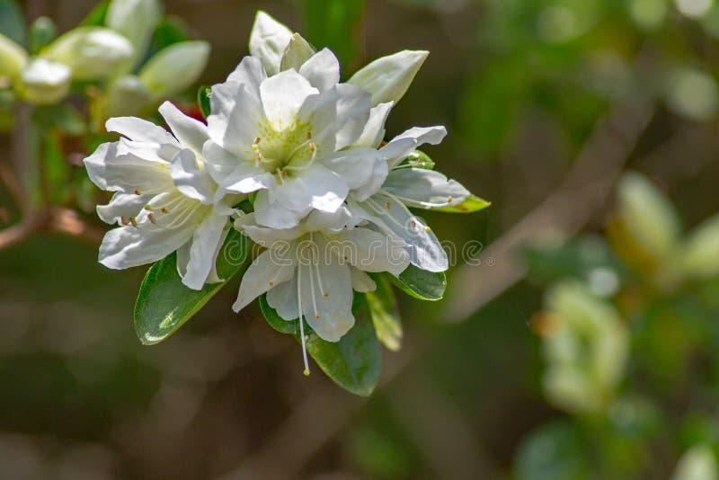 Cluster van Wilde Witte Azalea Flowers stock afbeelding