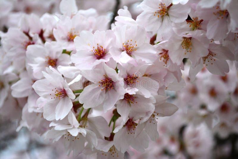 Cluster van wit Sakura Flowers/Cherry Blossom royalty-vrije stock afbeelding