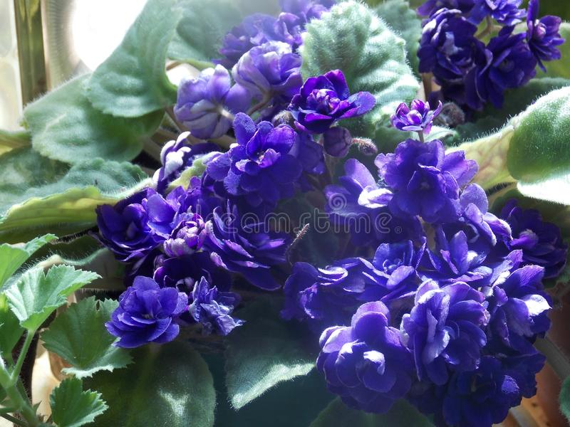 Cluster of violets with leaves stock image
