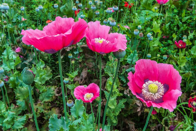 Cluster of vivid pink poppies. With purple and white and yellow centers stock photography