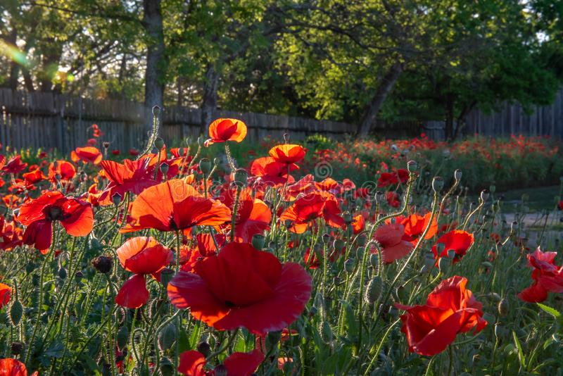 Cluster of vivid red poppies. With morning sunlight streaming through the petals royalty free stock image