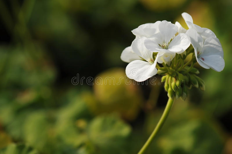 Cluster of white Geranium flowers in the morning stock images
