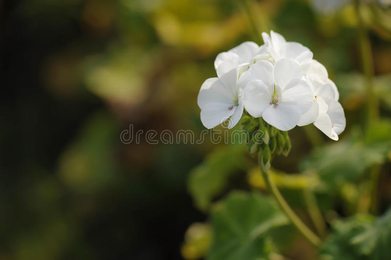 Cluster of white Geranium flowers in the morning stock photography