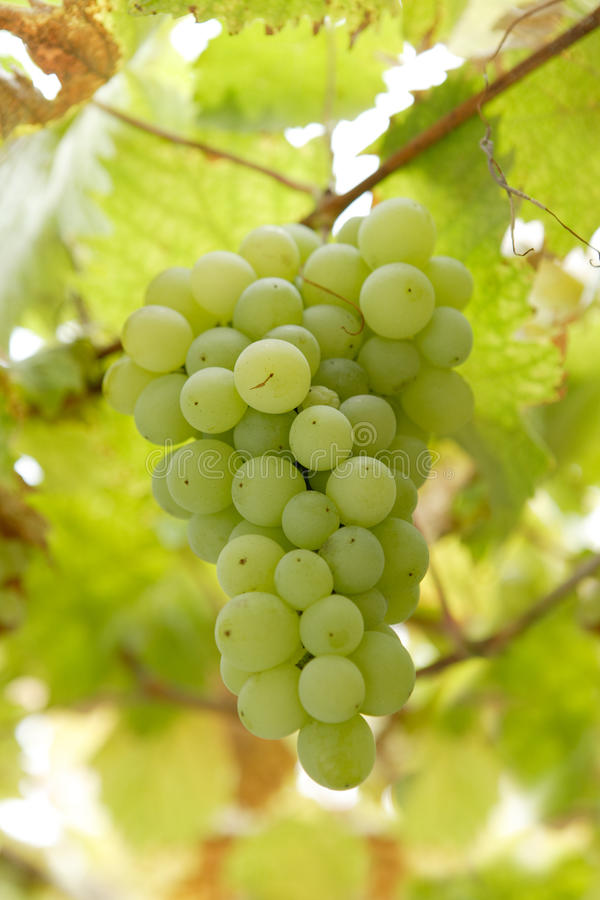 Cluster of white grapes royalty free stock images