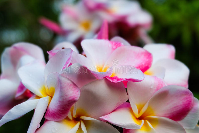 Cluster of White and Pink Plumeria flowers stock photography