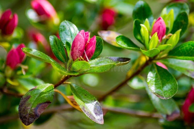 Cluster of Wild Appalachian Mountain Pink Azalea Buds stock image