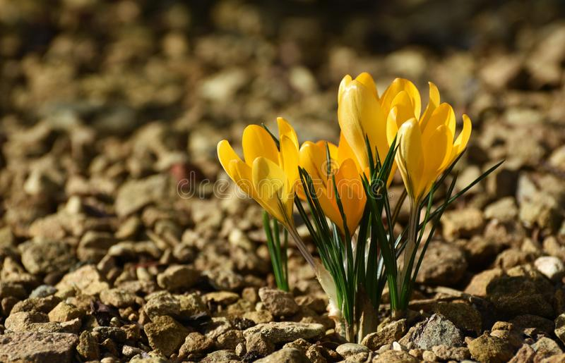 Yellow Crocuses Isolated in Rocky Soil. A cluster of yellow crocus flowers in hot sun growing in otherwise rocky barren earth royalty free stock photo