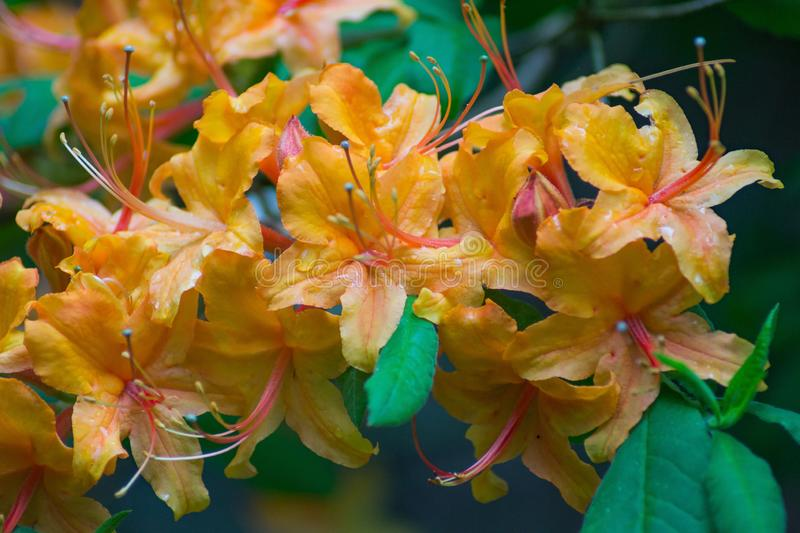 Cluster of Yellow Flame Azaleas Flowers royalty free stock photo
