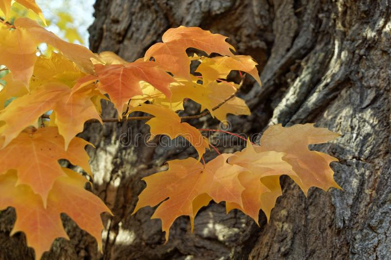 Cluster of yellow maple leaves royalty free stock photos