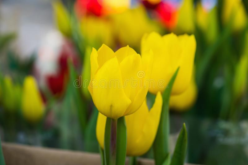 Cluster of yellow tulips under Cluster of yellow tulips under sun lightsun light royalty free stock photo