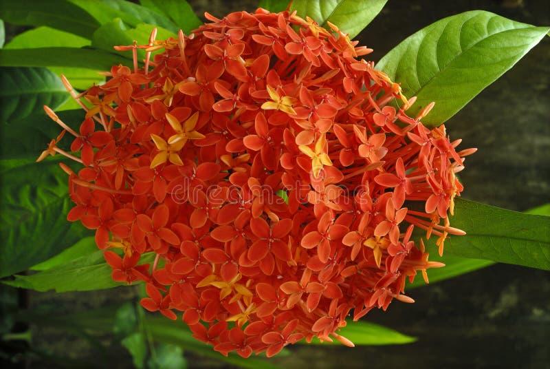 Clusterbloemen Ixora royalty-vrije stock afbeeldingen