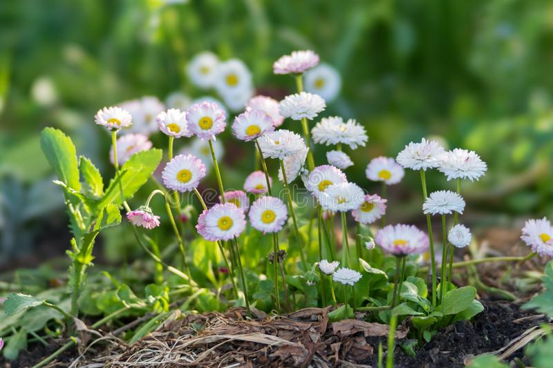Clusters of blooming white and pink daisies Bellis perennis in a flower bed in spring royalty free stock images