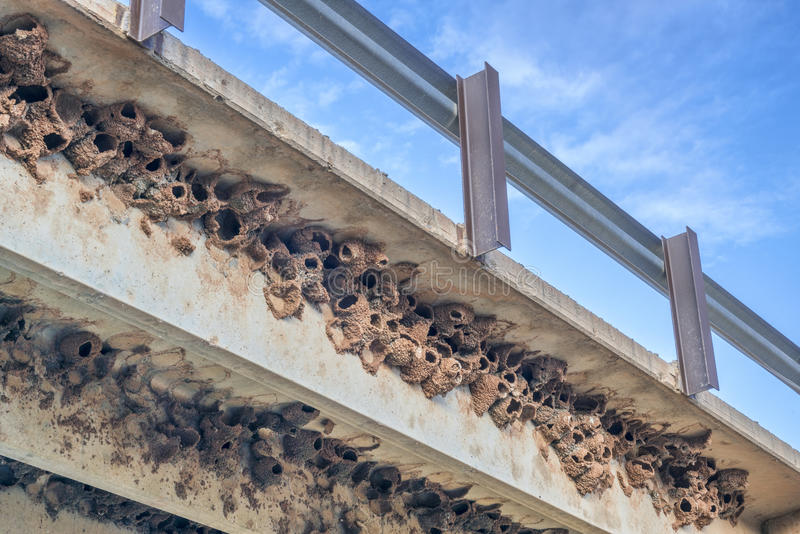 Clusters of cliff swallow mud nests royalty free stock images