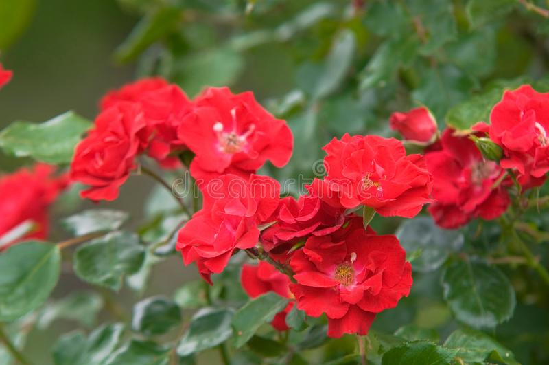 Clusters de arbusto rojo trepador Rose Köln am Rhein florece imagenes de archivo