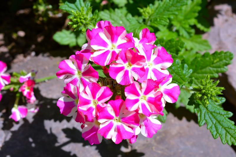 Clusters of delicate tiny pink and white flowers stock photo image download clusters of delicate tiny pink and white flowers stock photo image of beauty mightylinksfo