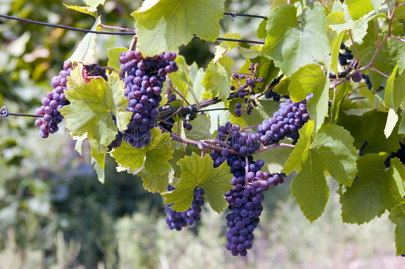Clusters of grapes royalty free stock photo