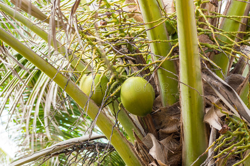 Clusters of green coconuts close-up hanging on palm tree stock photography
