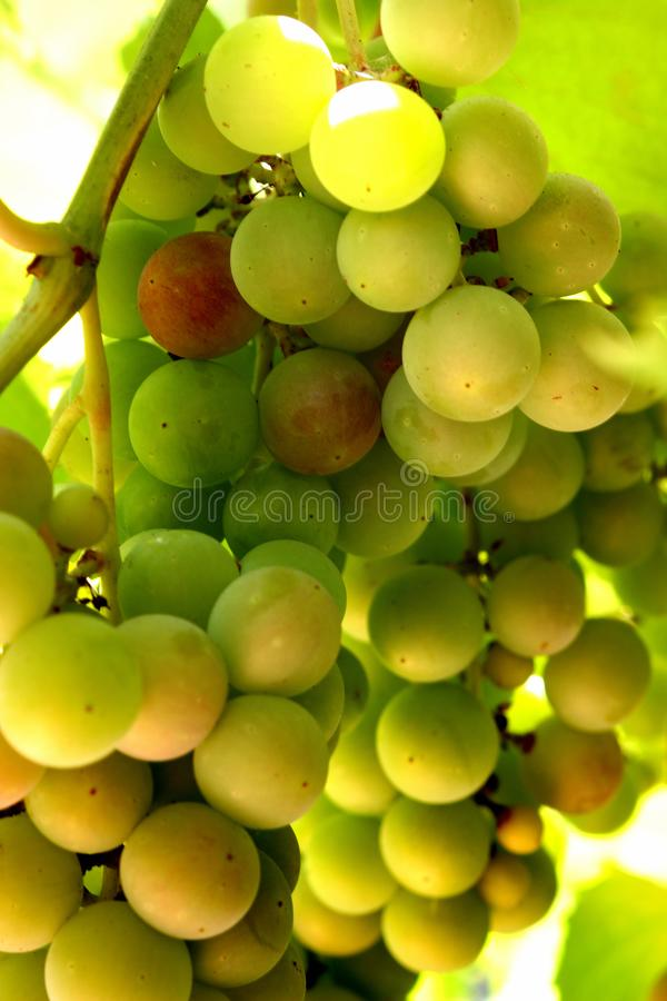 Clusters of green grapes on a vine.  stock photo