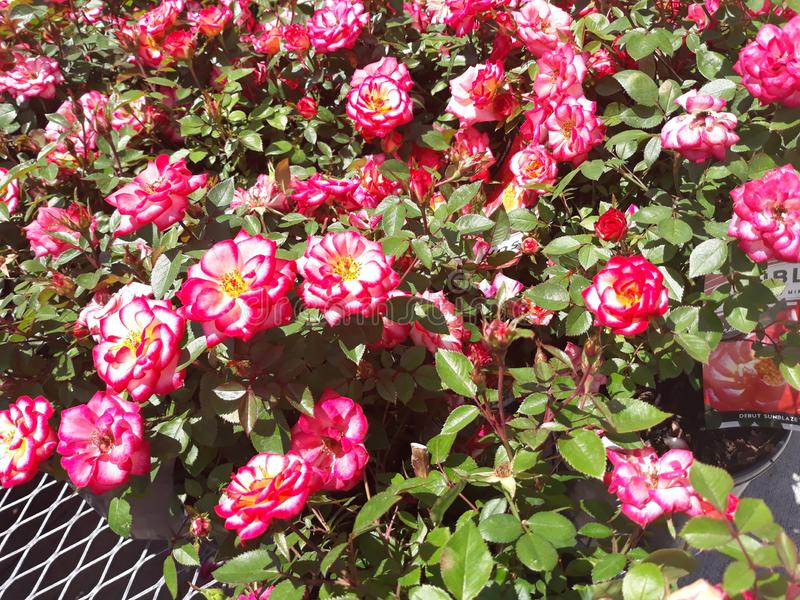 Clusters of Little Red Roses 2 royalty free stock image