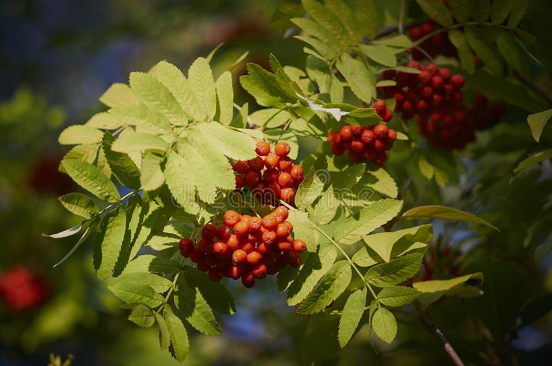 Clusters of mountain ash on a branch. Fruits of mountain ash in the city park royalty free stock image